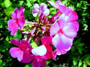 Цветочный багрянец