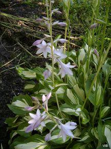 Дачные лилии