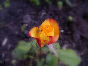 Роза цвета заката