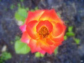 Золотятся розы