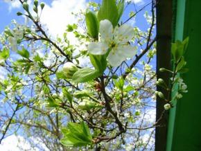 Зацветает вишня