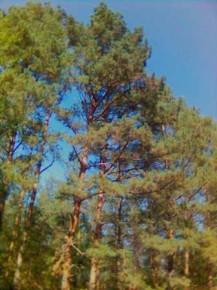 сосновий лес, там такой воздух мм...