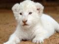 маленькая львица