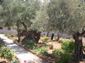 Сад Гефсиманский... Аж мурашки по коже, когда понимаешь, что это действительно он, только маааахонькая часть сохранилась и мы ее видим такой же как и много веков назад...