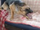 Зла собачка