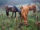 крымские кони