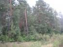 Сосновый лес возле Шепетовки