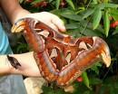 гигантская бабочка