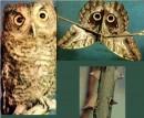 Сова на крыльях бабочки