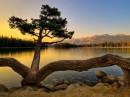 Tarantula Tree
