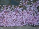 Цвіт сакур