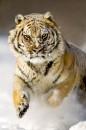 Сибирский тигр / Siberian Tiger