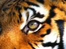 Тигр / Tiger