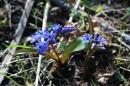 Первый цветок весны (Пролисок )