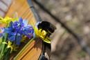 """Шмель приземлился на пролески, растущие на территории Регионального ландшафтного парка """"Зуевский"""", что расположен на Востоке Донецкой области близ поселка """"Зуевка""""."""