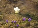 Перші весняні квіти на полонинах Карпат