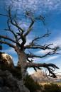 Старое дерево можевельника на пешеходной тропе