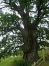 Найстаріший дуб в Карпатах віком близько 950 років, знаходиться біля с. Стужниця на терирорії Ужанського національного парку