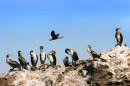 Морские птицы Бакланы.