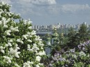 Весна, Киев, ботанический сад, цветение сирени