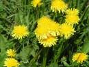 Вестники лета -  Желтых одуванчиков  Дружные всходы