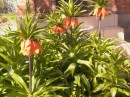 Первоцветы на клумбе у моего дома