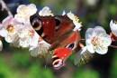 Апрель - месяц цветения абрикоса. В воздухе стоит упоительный аромат, а деревья кажутся живыми из-за миллионов живых существ привлеченных пыльцой и нектаром