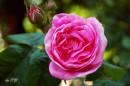 Розы прививают любовь к природе, а шипы - уважение.