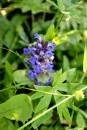 сині квіти в траві