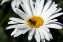 ромашка і бджола