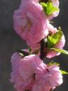 цветёт миндаль