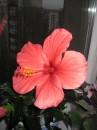 цветёт гибискус - красавец!
