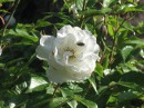 Белые розы-символ радости и чистоты.