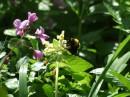 Пчела в горных цветах