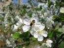 пчела-трудяга