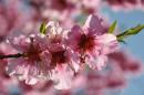Цветущие персики - Никитский Ботанический сад, Крым.