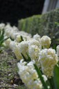 Цветение гиацинтов - Никитский Ботанический сад, Крым.