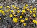 Заметила эту семейку сразу,она выделялась своей красочностью и желтизной,так как весна была ранняя,трава была ещё прошлогодняя,а эта веселая семья выделялась.