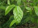 Молодые листики