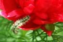 Гусеница, которую застали за бегством с места пресупления