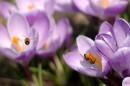 Труженицы весенние летают с крокуса на крокус :)