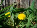 По легенде каждый год, весной, солнце спускается с неба на землю и бегает босиком по утренней росе, оставляя за собой след из цветов цвета солнца яркожёлтых одуванчиков))))