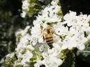 Пчела работает в Никитском ботаническом саду - Крым