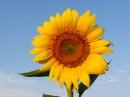 Цветок солнца.