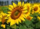 Цветы солнца 3.