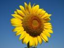 Цветок солнца 4
