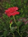 Роза и дождь.