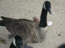 Канадська гуска