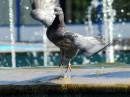 взлёт голубя