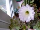 Это благодарство моего кактуса за мои труды правда красиво??